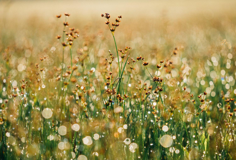 Поле. Цветы. Роса