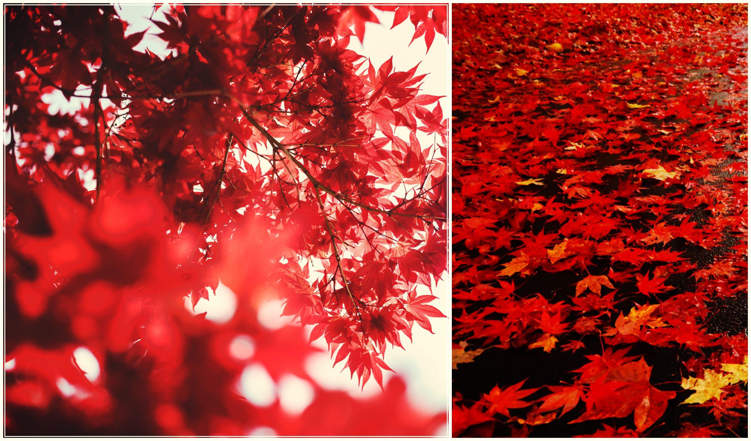 Листопад. Красные листья. Осень